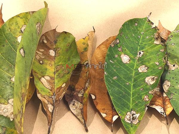โรคยางใบร่วงพันธุ์ใหม่ระบาดนับ 4 แสนไร่แล้วในภาคใต้ พบข้อมูลลามติดพืชผักผลไม้ได้