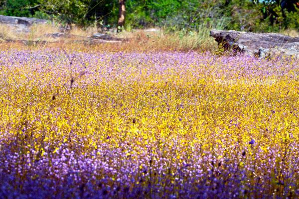 ดอกไม้ป่า ที่วนอุทยานฯน้ำตกผาหลวง