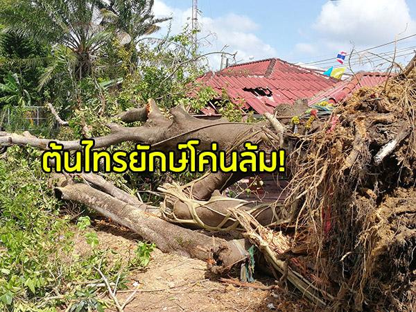 """""""ต้นไทรยักษ์"""" คู่เมืองหาดใหญ่โค่นล้ม ชาวบ้านสุดเสียดายอายุกว่า 100 ปี"""