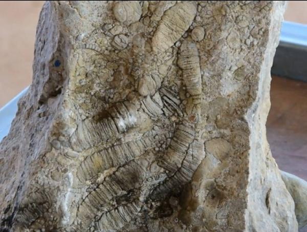 ฮือฮา ! พบซากฟอสซิลในสวนปาล์มน้ำมันชาวบ้าน จ.สระแก้ว คาดอายุกว่า 250 ล้านปี