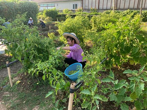 นักเรียนของโรงเรียนศรีวังวาลย์เชียงใหม่เก็บผลิตผลทางการเกษตรที่แปลงผักของโรงเรียน เพื่อนำไปจำหน่ายต่อไป