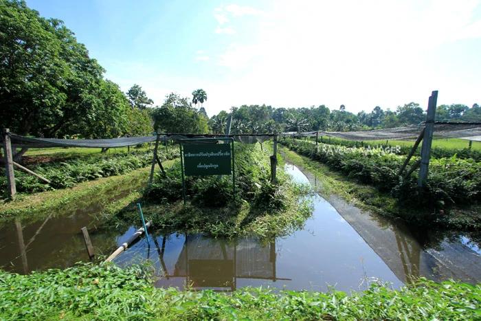การปรับปรุงดินเปรี้ยวจัดที่ศูนย์ฯพิกุลทอง ให้สามารถปลูกผักกูดได้