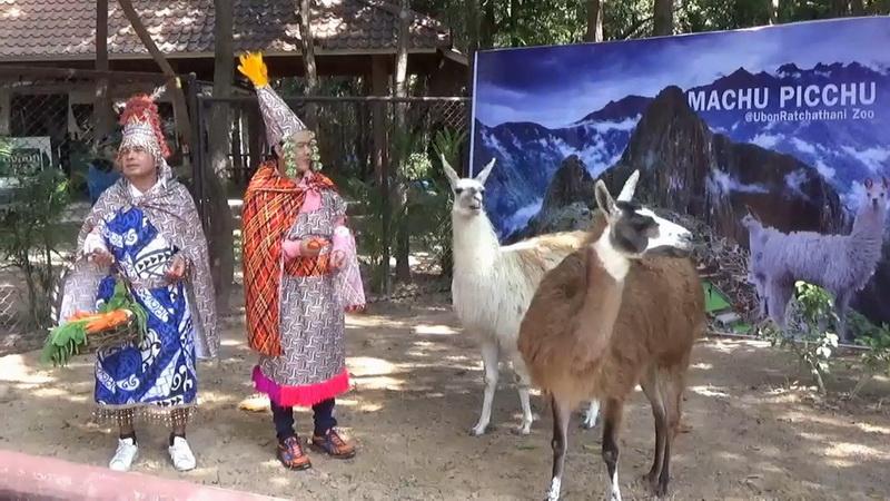 """วันพ่อนักท่องเที่ยวแห่ชมตัว """"ลามา""""สมาชิกใหม่สวนสัตว์อุบลฯ"""