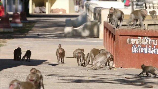 ลิงแสมนับพันยึดลานวัดดังนครสวรรค์ นั่งเบียดกันอาบแดดคลายหนาว