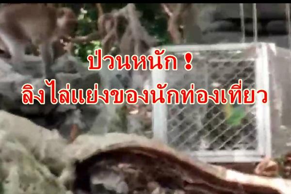 ป่วนหนัก ! ลิงฝูงใหญ่ไล่แย่งของนักท่องเที่ยว สร้างความเดือดร้อนไปทั่ว