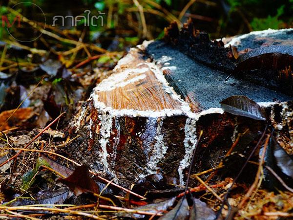 ชาวสวนยางพัทลุงโอดถูกคนร้ายแอบขโมยตัดต้นยางไปขาย