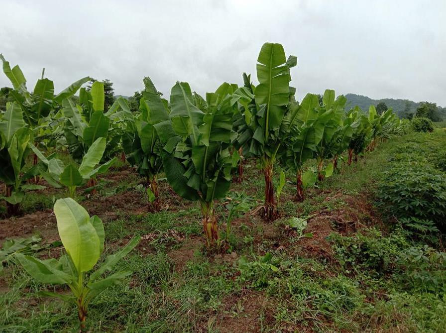 แปลงกล้วยราดสารควบคุมการเจริญเติบโตของพืชเพื่อลดความสูงสำหรับลดความเสียหายจากพายุ