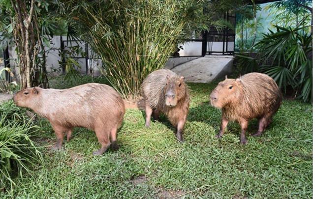 ต้อนรับปีหนู !!!สวนสัตว์เปิดเขาเขียวชวนเที่ยวชมหนูยักษ์ คาปิบาร่าพร้อมลุ้นรางวัลฉลองปีใหม่