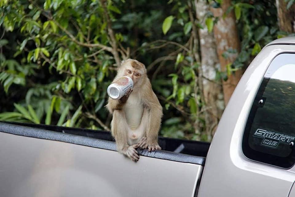 """ผิดกฎหมายชัด! พบนักท่องเที่ยว """"เขาใหญ่"""" เอาเบียร์มากิน วางกระป๋องท้ายรถ-ลิงหยิบไปกิน"""
