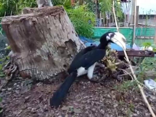 ตื่นเต้น! พบฝูงนกเงือกมาอาศัยตามรีสอร์ทบนเกาะไหง จ.กระบี่ กว่า 30 ตัว