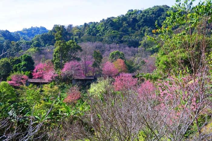 สีชมพููแซมอยู่ในเขาที่ขุนช่างเคี่ยน