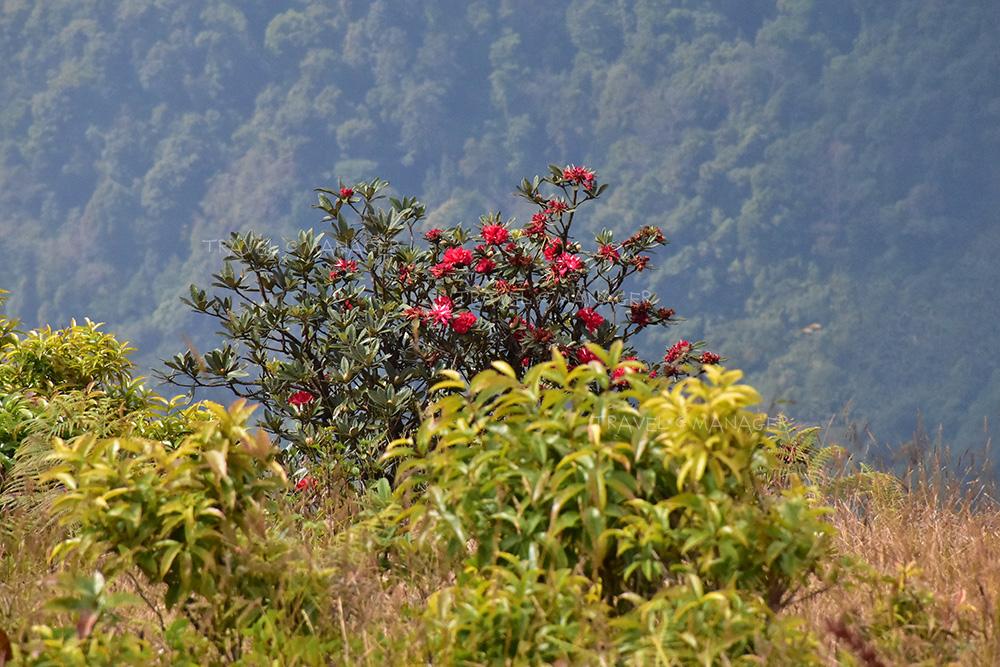 ต้นกุหลาบพันปีสีแดงสด