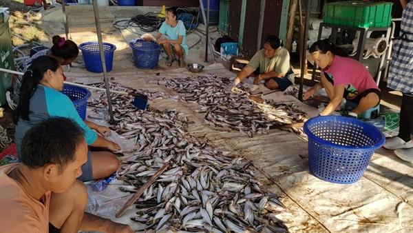 ภัยแล้งกระทบการเลี้ยงปลากกระชัง ในแม่น้ำเจ้าพระยา   เกษตรกรอยู่ยาก