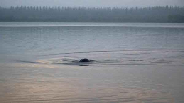 """โลมาแม่น้ำแยงซีเกียงที่ชาวจีนขนานนามว่าเป็น """"เทพธิดาแห่งแยงซีเกียง"""" ถูกขึ้นทำเนียบสัตว์สูญพันธุ์โดยปริยาย ในภาพโลมาแม่น้ำแยงซีเกียงสองตัวปรากฏตัวในแยงซีเกียช่วงเมืองอี๋ชางเมื่อวันที่ 6 เม.ย.2561  (ไชน่า นิวส์ เซอร์วิส)"""