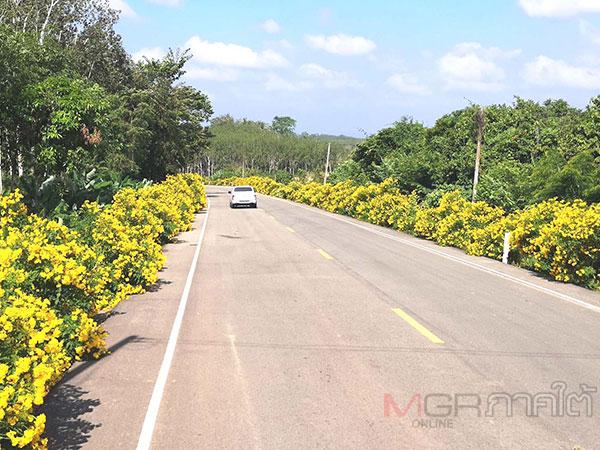 ต้นทองอุไรออกดอกบานสะพรั่งเหลืองอร่ามสองข้างทางถนนแห่งการท่องเที่ยวของตรัง