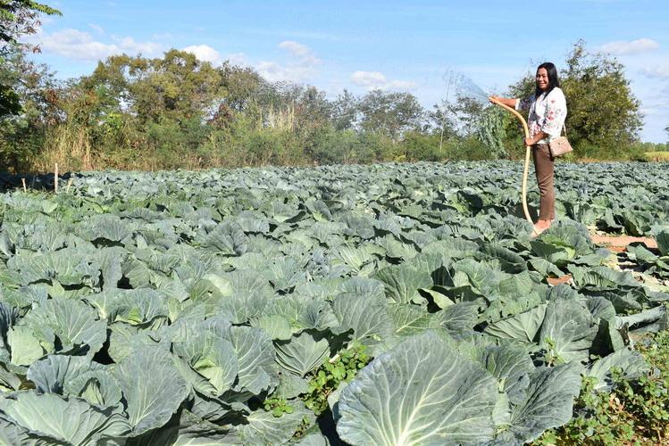 (ชมคลิป)ใช้น้ำน้อย!เกษตรกรเมืองน้ำดำพลิกผืนนาแล้งปลูกกะหล่ำปลีขายโกยเงินก้อนโต
