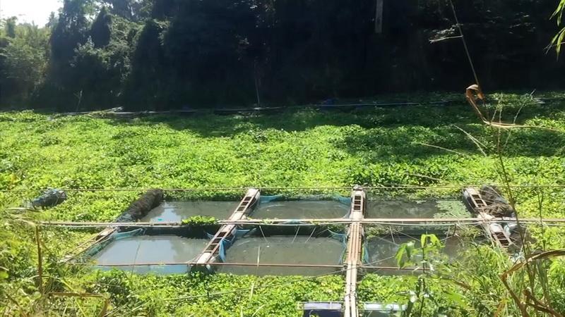 ปิดฉากอาชีพเลี้ยงปลาน้ำพอง น้ำแห้งต้องเลิกเลี้ยงทั้งหมดกว่า3พันกระชัง
