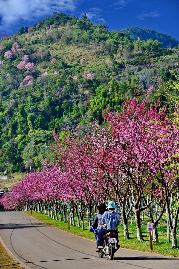 เส้นทางชมซากุระญี่ปุ่นที่สถานีเกษตรหลวงอ่างขาง