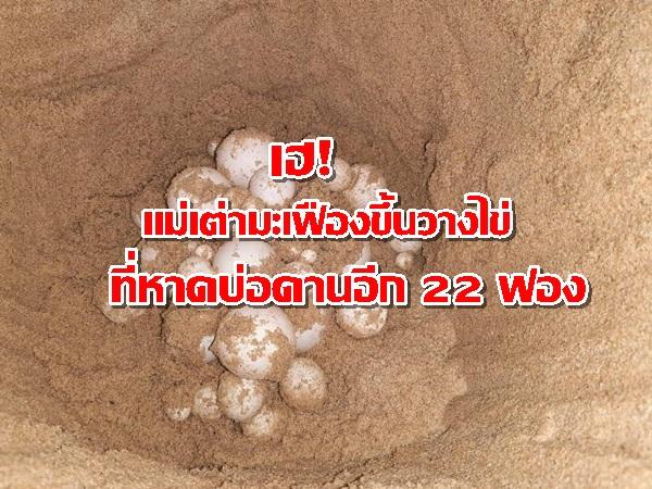 เฮ! รังที่ 5 ของปีนี้แล้ว แม่เต่ามะเฟืองขึ้นวางไข่ ชายหาดบ่อดาน จ.พังงา อีก 22 ฟอง