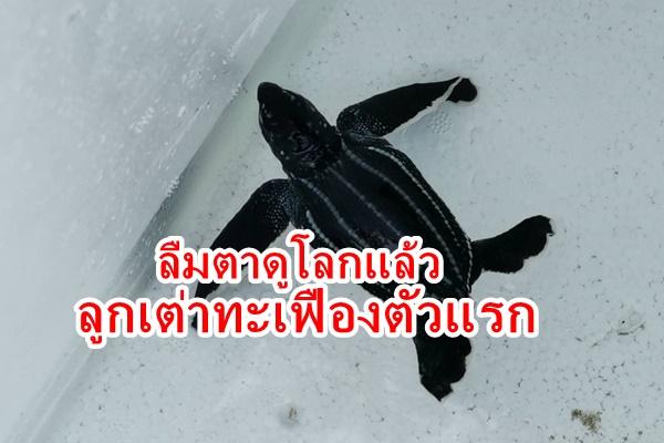 โชคดี 2 เด้ง ลูกเต่ามะเฟืองตัวแรกลืมตาดูโลก รอ 2 ทุ่ม ปล่อยกลับทะเล ขณะที่ไข่เต่ารังที่ 6 ไม่ต้องย้าย