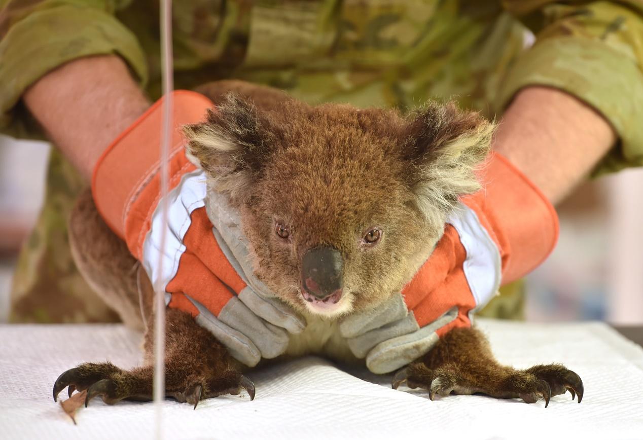 โคอาลาที่ได้รับบาดเจ็บจากเหตุไฟป่าออสเตรเลียกำลังได้รับการรักษาจากโรงพยาบาลสนามบนอุทยานสัตว์ป่าเกาะจิงโจ้ (the Kangaroo Island Wildlife Park) บนเกาะจิงโจ้ พบว่ามีโคอาลาจำนวนหลายร้อยตัวได้รับการช่วยชีวิตและนำมาที่อุทยานแห่งนี้เพื่อรักษาอาการบาดเจ็บ ภาพประจำวันอังคาร(14 ม.ค) ภาพเอเอฟพี