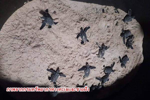 ลูกเต่ามะเฟืองชุดแรกออก 30 ตัว หลังลุ้นมาทั้งวัน ส่วนการติดตามแม่เต่าขึ้นวางไข่ เกือบได้เฮ หลังพบรอยที่หาดไม้ขาว