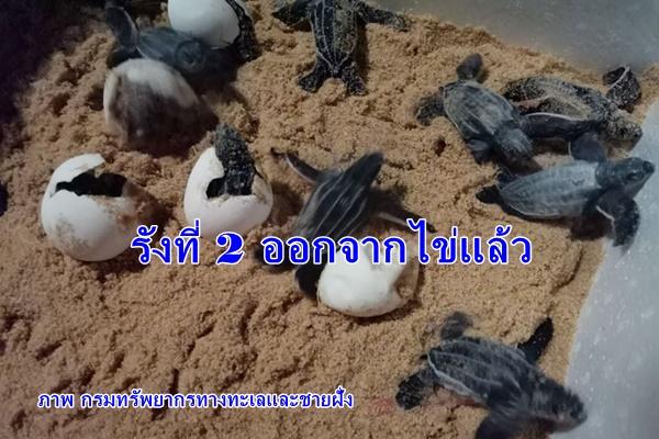 ลูกเต่ามะเฟืองรังที่ 2 ฟักออกจากไข่ 77 ตัว ปล่อยกลับทะเลแล้ว 49 ตัว ส่วนที่เหลือรอจนแข็งแรง