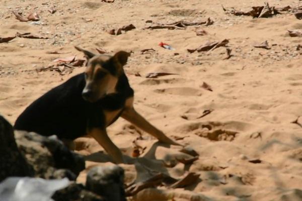 ผู้ว่าฯกระบี่ทุบโต๊ะ หมาจรจัดต้องหมดไปจากแหล่งท่องเที่ยว หลังรุมขย้ำเด็กชายชาวอเมริกันบาดเจ็บสาหัส