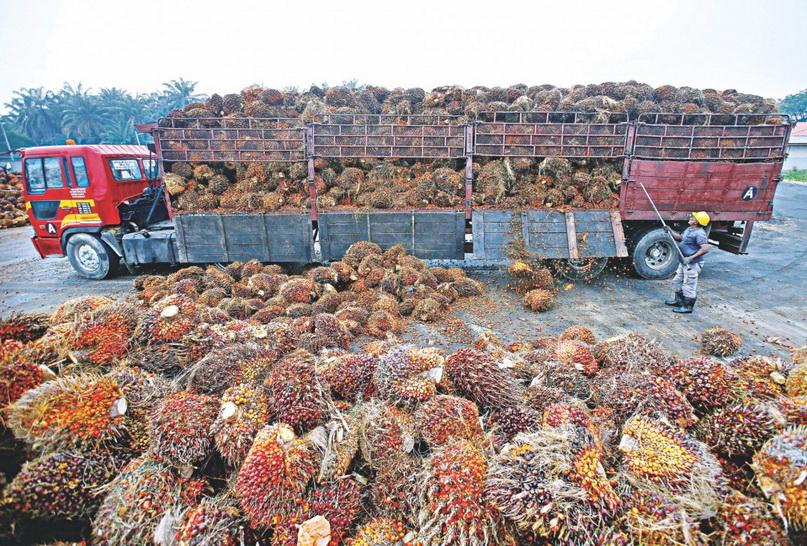 คนงานชาวมาเลเซียสอยปาล์มน้ำมันลงจากบรรทุกภายในโรงงานผลิตน้ำมันปาล์มแห่งหนึ่งที่เมืองซาลักติงงี ชานกรุงกัวลาลัมเปอร์