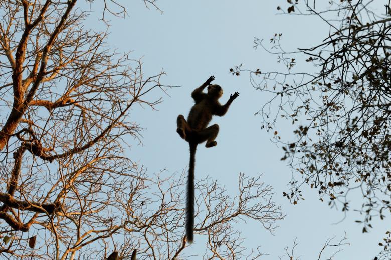 ตัวลีเมอร์ (red-fronted brown lemur) กระโดดไปตามกิ่งไม้ในมาดากัสการ์ (REUTERS/Baz Ratner)