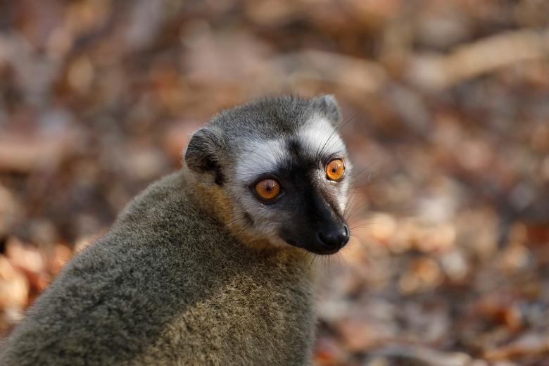 ตัวลีเมอร์อีกชนิด (red-fronted brown lemur) ในป่ามาดากัสการ์  (REUTERS/Baz Ratner)