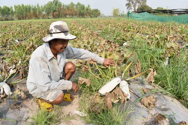 ชาวยางตลาดปรับตัวรับแล้งงดทำนาปรัง  ปลูกแตงกวาญี่ปุ่นขายเมล็ดโกยเงินแสน