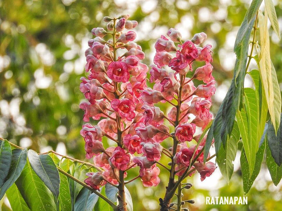 ดอกชมพูภูคา (ปี 63) ดอกไม้สุดหายากของโลก (ภาพ : อช.ดอยภูคา โดย : รัตนาพันธุ์ แก้วกันทา)