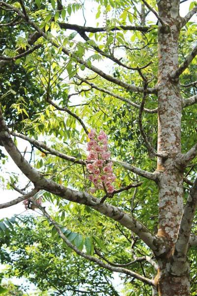 ดอกชมพูภูคาเบ่งบานที่ดอยภูคา(แฟ้มภาพ)