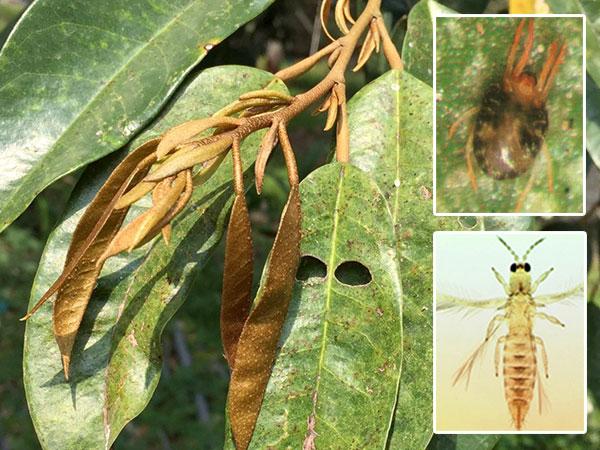 """ผอ.เกษตรเขต 5 แจ้งเตือนเกษตรกรระมัดระวัง """"แมลงศัตรูทุเรียน"""" ที่พบในช่วงหน้าแล้ง"""