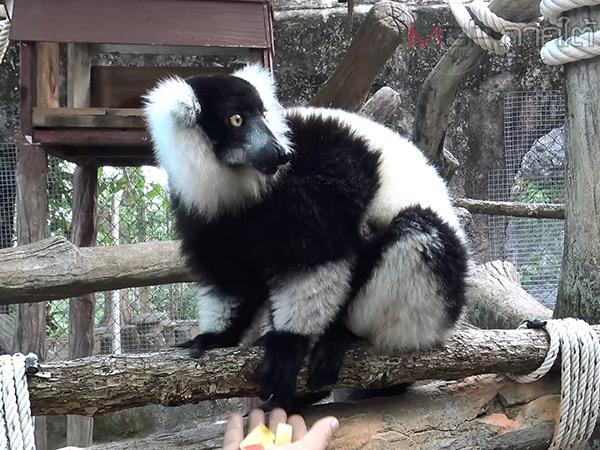 """สวนสัตว์สงขลาเปิดบ้านต้อนรับสมาชิกใหม่ """"รัฟฟ์ด ลีเมอร์"""" เตรียมเปิดตัวให้ชมพรุ่งนี้"""