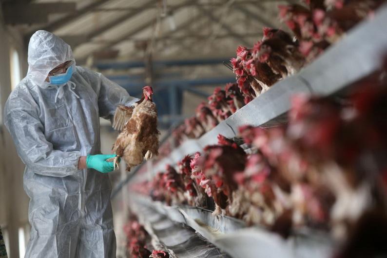 จีนพบไข้หวัดนก H5N6 ระบาดในฟาร์มสัตว์ปีกที่ 'เสฉวน'