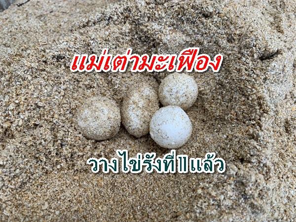 แม่เต่ามะเฟืองขึ้นวางไข่รังที่ 11 ที่ชายหาดเกาะคอเขา ปล่อยฟักตัวตามธรรมชาติ