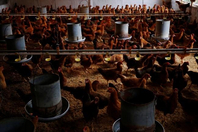 เวียดนามกำจัดสัตว์ปีกหลายหมื่นตัวหลังหวัดนก H5N6 ระบาดภาคเหนือ