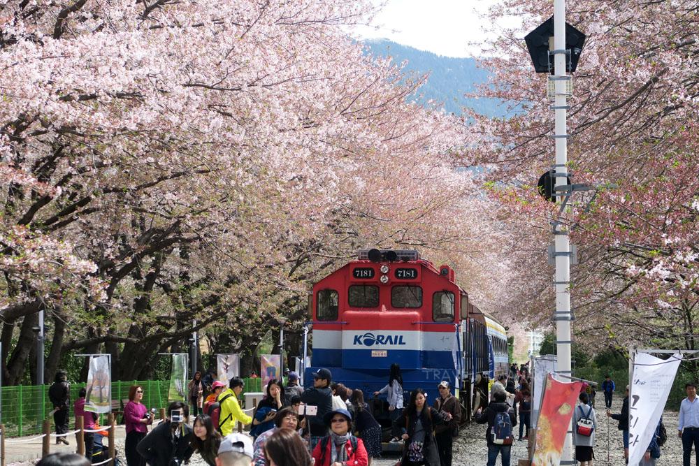 ทางรถไฟดอกซากุระคยองฮวา จินเฮ