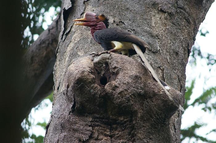 """ทำไมต้องรณรงค์ให้ """"นกชนหิน"""" บรรพบุรุษนกเงือกเอเชีย เป็นสัตว์ป่าสงวนอันดับ 20 ของไทย?"""