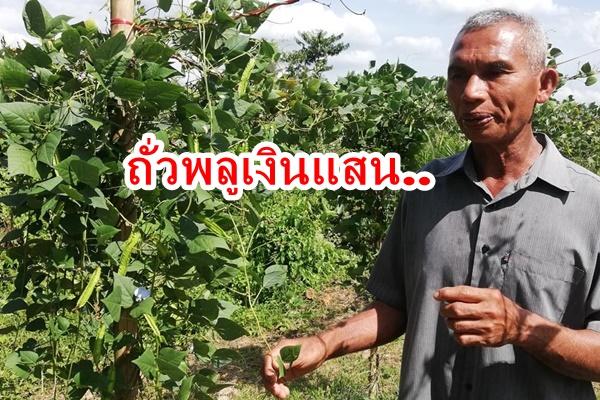 ทึ่ง ! เกษตรกรปลูกถั่วพลูทดแทนพืชหลัก ทำรายได้สูง 1 แสนบาทต่อไร่