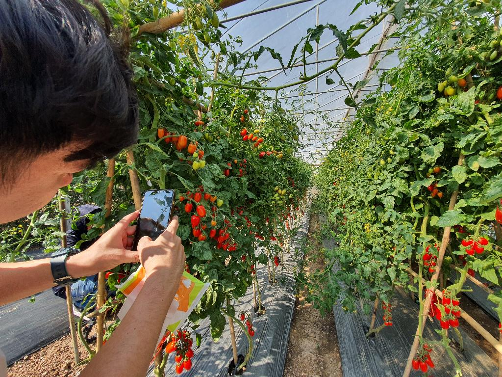 แปลงทดสอบสายพันธุ์มะเขือเทศ ศูนย์การเรียนรู้การผลิตเมล็ดพันธุ์ผักเกษตรอินทรีย์ มหาวิทยาลัยแม่โจ้