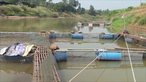 ไปต่อไม่ไหว ! ผู้เลี้ยงปลากระชังในแม่น้ำน่านเริ่มทยอยหยุดกิจการเหตุไม่มีร่องน้ำให้ลากแล้ว