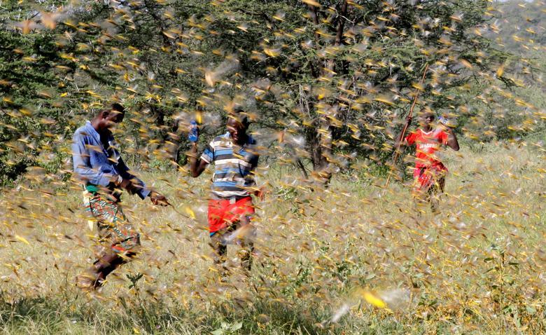 ตั๊กแตนจำนวนมากบุกกัดกินผลผลิตทางการเกษตรของชาวบ้านในเคนยา