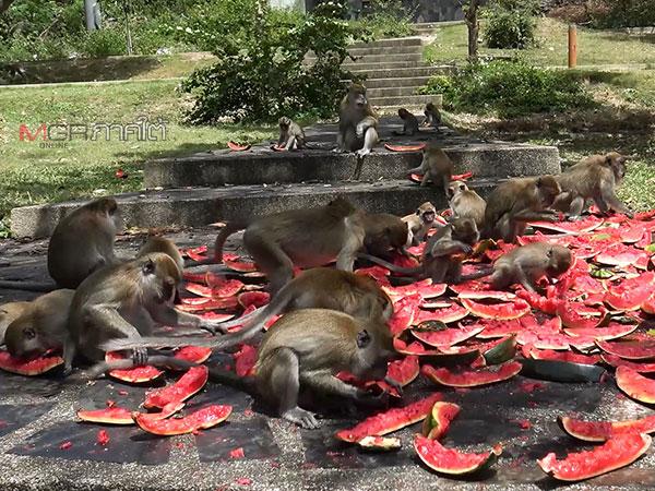 ฝูงลิงเขาน้อย-เขาตังกวน จ.สงขลา ล้อมวงปาร์ตี้แตงโมสนุกสนาน