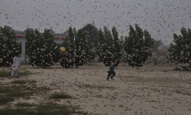 ผู้เชี่ยวชาญจีนปฏิเสธข่าวส่งเป็ดแสนตัวปราบตั๊กแตนในปากีสถาน