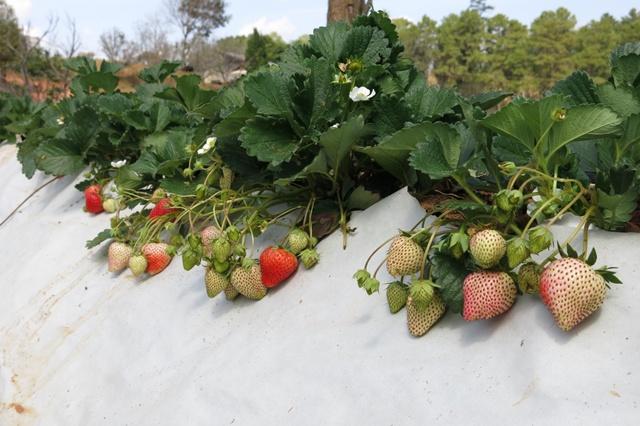 """เอสซีจี ร่วมกับ มก. พัฒนา """"กระดาษคู่ดิน"""" คลุมแปลงที่เป็นมิตรต่อสิ่งแวดล้อม ช่วยยกระดับคุณภาพผลผลิตพืชเมืองหนาว"""