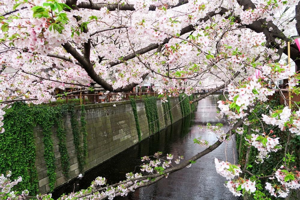 เทศกาลชมดอกซากุระ ประเทศญี่ปุ่น