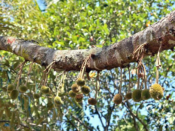 สตูลแล้งจัด! แนะเกษตรกรดูแลรักษาไม้ผล 9 พันไร่ ทั้งตัดตกแต่งกิ่ง จัดแหล่งน้ำเพิ่ม
